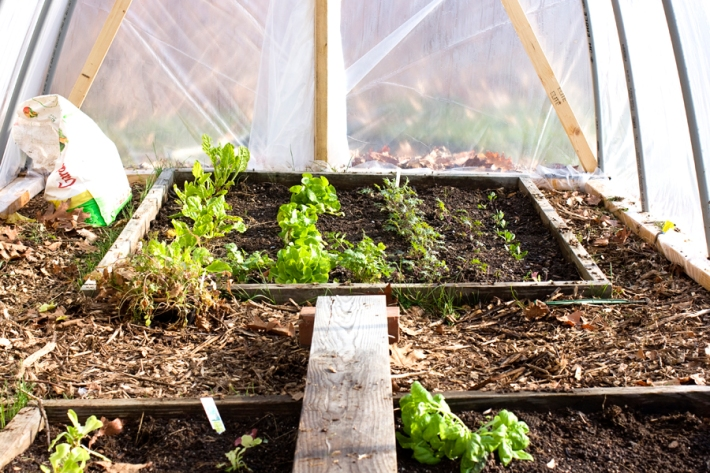 Growing chard, lettuce, kale, spinach, and herbs in the winter.