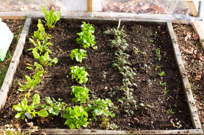 Chard, Lettuce, Kale, Spinach and Cilantro in my winter greenhouse.