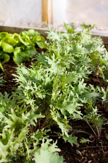 Russian Kale December